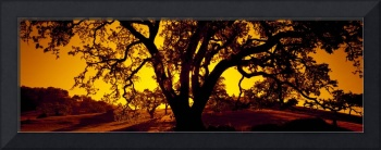 Silhouette of Coast Live Oak trees (Quercus agrif