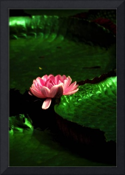 Lilly Pads-South America