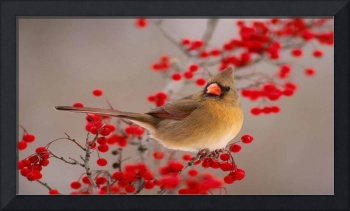 Northern Cardinal Sits Amongst The Red Berries