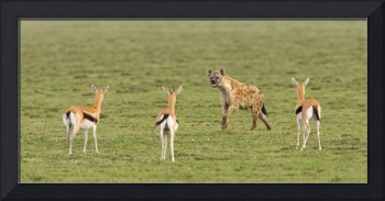 Three Gazelle fawns (Gazella thomsoni) and a Spot