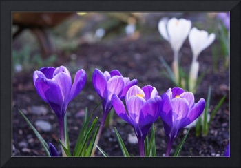 Crocus Spring Garden Flowers Purple Floral