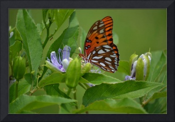 Gulf Fritillary and Passion Flower