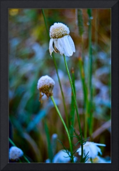 camomile flowers with Hoarfrost