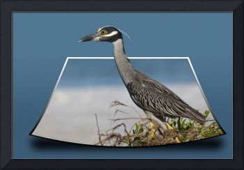 Yellow-crowned Night-Heron out of bounds