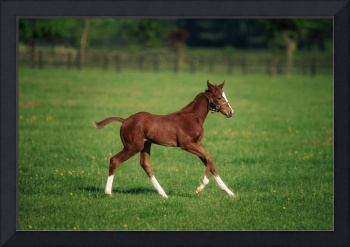 Thoroughbred foal, Kildare Town, Ireland
