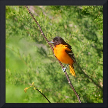 Baltimore Oriole on Tree Branch Square Format