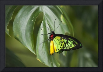 Red yellow green butterfly on green leaf.