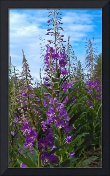 Blue sky in fireweed