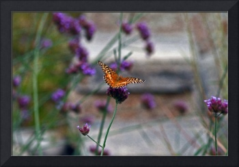 Butterfly Variegated Fritillary  paint effect