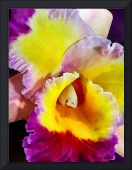 Yellow and Magenta Cattleya Orchid
