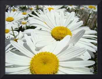 Daisies Floral Art Prints White Daisy Flowers