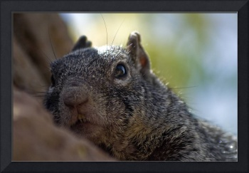 Rock Squirrel Portrait