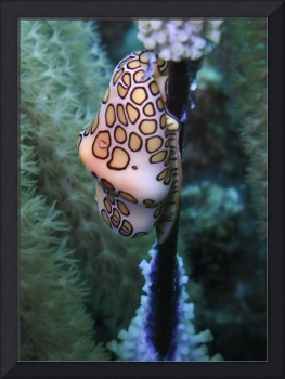 flamingo tongue 2