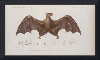 Vintage Bat Illustration (1835)