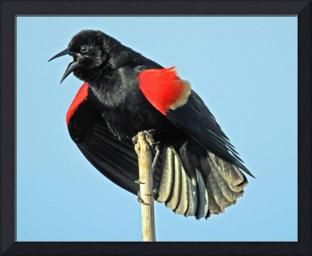 Red-winged Blackbird ((Agelaius phoeniceus)