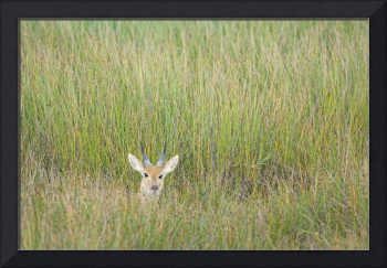 Reedbuck among tall grass