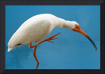 White Ibis With an Itch