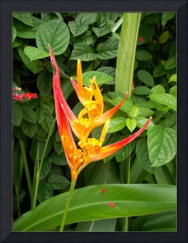 heliconia flower in red yellow orange color