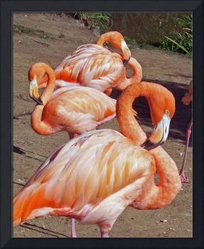 Naptime for the Flamingos