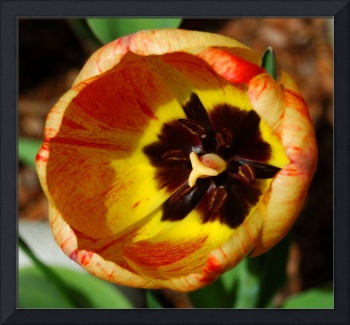 Tulip Red & Yellow #1