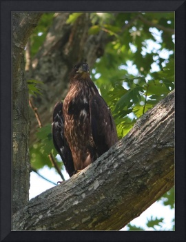 Immature Eagle in a Tree