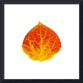 Red and Yellow Aspen Leaf 3