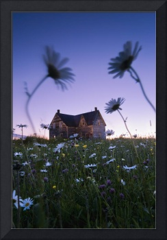 Oxeye Daisies And Abandoned House At Dusk, Quebec,
