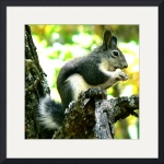 Tufted Squirrel by Jacque Alameddine