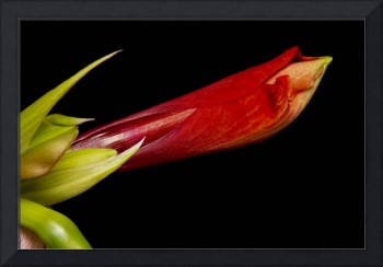Colorful Amaryllis Bloom