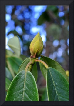 Young Rhododendron