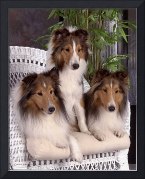 Collie Puppies On Wicker Couch