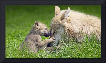 Mother Grey Wolf And Pup Cuddle