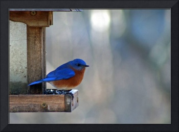 Bluebird in Winter (2)