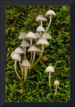 Fungus Mycena on mossy tree trunk Margaret River