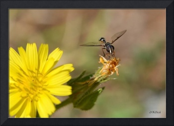 Black Wasp on a Drying Dandelion