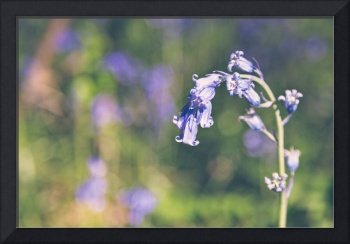 Bluebells - Natalie Kinnear Photography