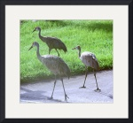 Sandhill Crane Family by Jacque Alameddine