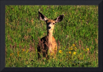 Mule Deer Doe on Garden Creek