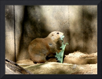 A Hungry Prairie Dog