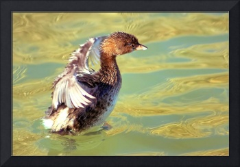 Post Dive Pied-Billed Grebe Shakeoff