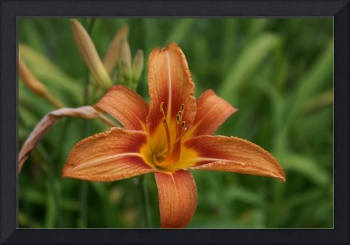 Asiatic Lily II