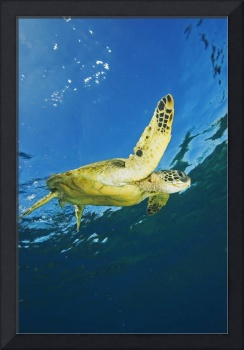 Hawaii, Green Sea Turtle Swimming Near Surface