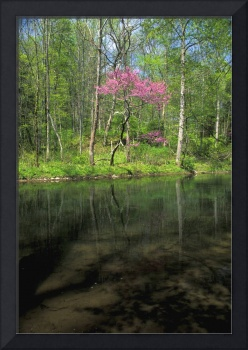 Red Bud along the Little Miami River in John Bryan