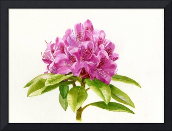Magenta Colored Rhododendron with White Background