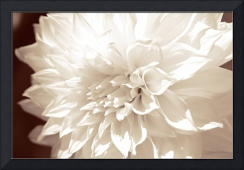 Dahlia Flower White Delight_Sepia_9872