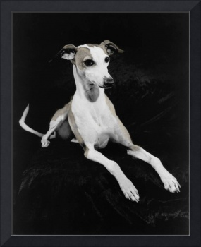 Italian Greyhound on Black