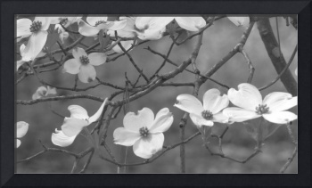 flowering tree branch, black and white