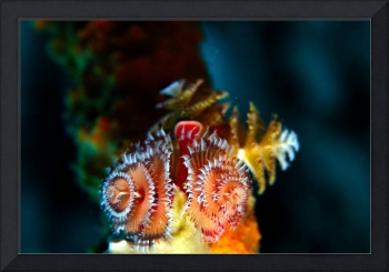 Christmas Tree Worms Group