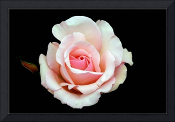 Classic Pink Hybred Tea Rose