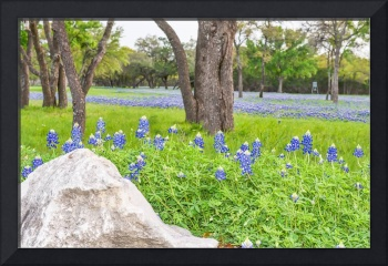 Bluebonnets in the Country